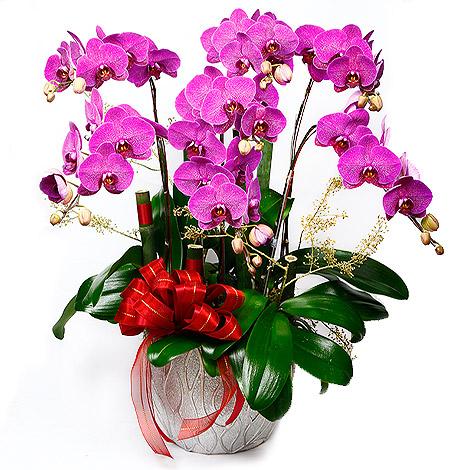 開幕送禮 福氣到你家 蘭花盆栽組合