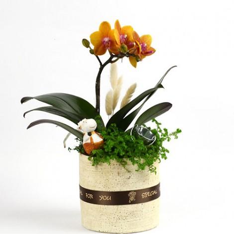 教師節感恩推薦 桌上迷你蘭花盆栽