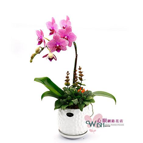 精選蘭花組合盆栽 好禮物最喜歡